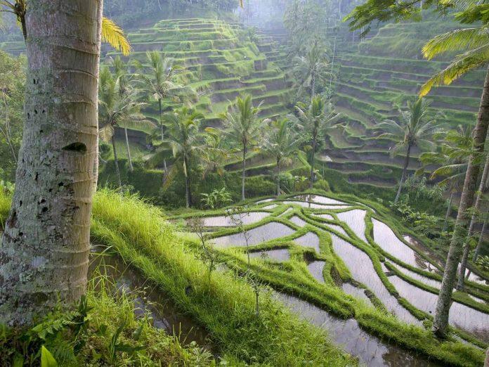 Рисовые террасы в Убуде. Остров Бали