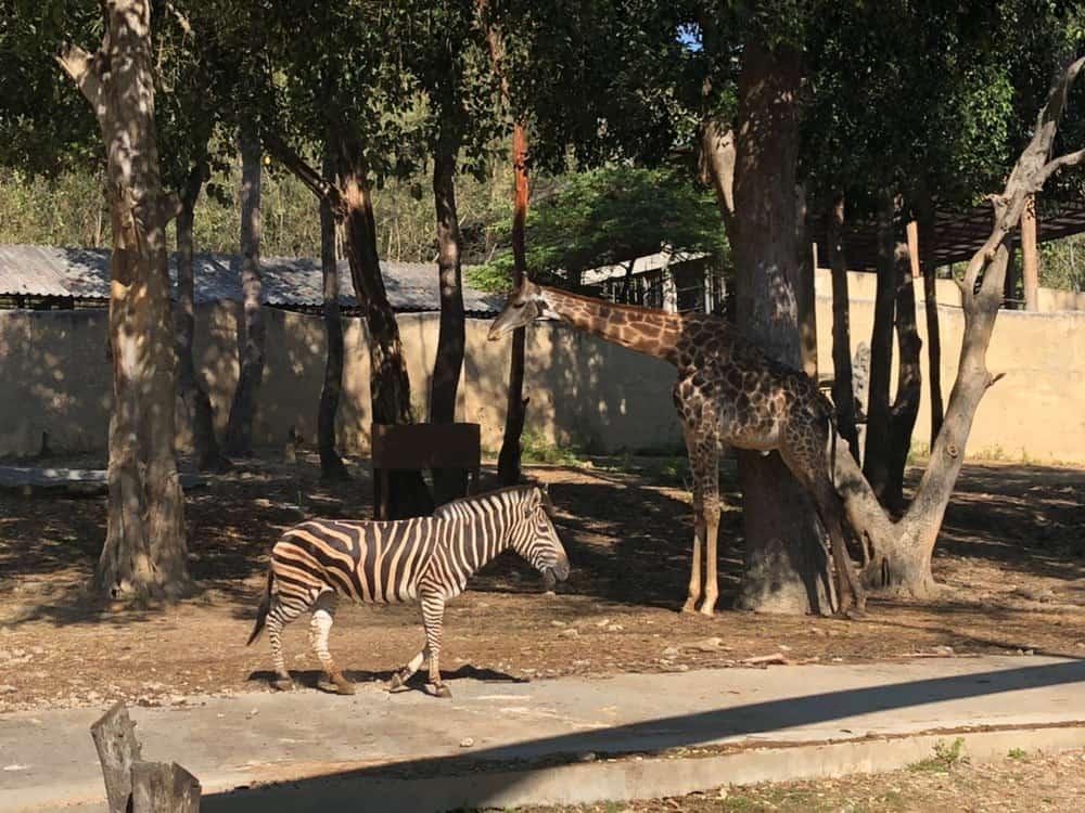Зоопарк Чиангмая. Жираф и зебра