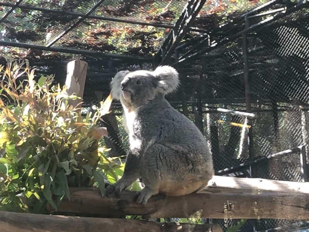 Коала. Зоопарк Чиангмаи